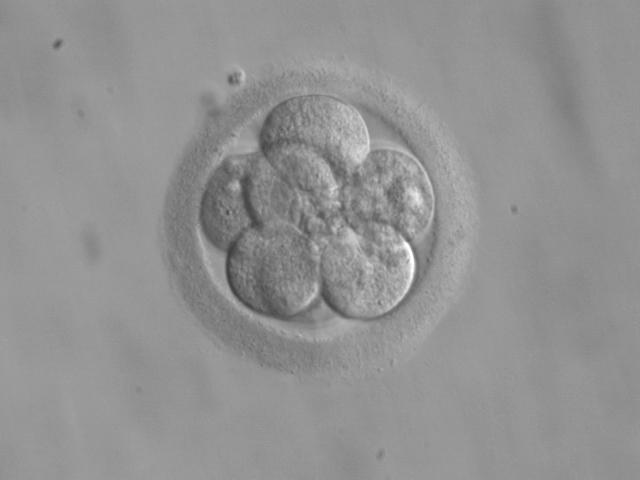 Embryo na acht dagen